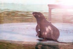 Futerkowa foka przy wybrzeżem, tanczy Zdjęcie Stock