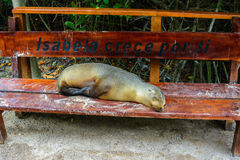 Futerkowa foka relaksuje na ławki siedzeniu, Galapagos wyspy, Ekwador Obrazy Stock