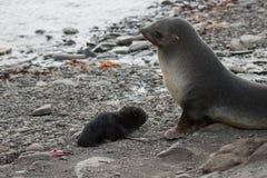Futerkowa foka właśnie daje narodziny ciucia Zdjęcia Royalty Free