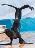 Futerkowa foka w cyrku Fotografia Stock