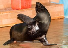 Futerkowa foka w cyrku Obraz Royalty Free