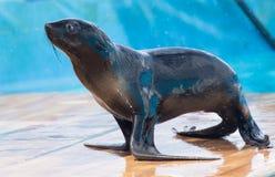 Futerkowa foka w cyrku Zdjęcie Royalty Free