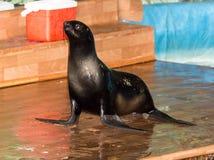 Futerkowa foka w cyrku Zdjęcie Stock