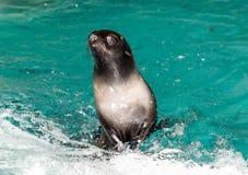 Futerkowa foka w cyrku Zdjęcia Royalty Free