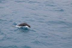 Futerkowa foka w wodzie Zdjęcie Stock