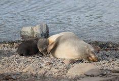 Futerkowa foka z ciucią, Południowy Gruzja Obraz Royalty Free