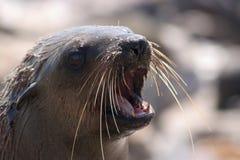 futerkowa przylądek foka Fotografia Stock