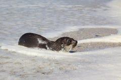 futerkowa przylądek foka Fotografia Royalty Free