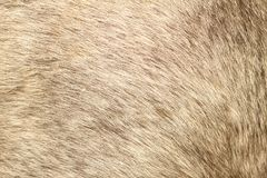 Futerkowa tekstura krótkiego włosy konik Fotografia Stock