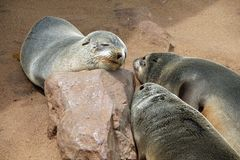 Futerkowe foki drzema przy przylądkiem Krzyżują foki kolonię w Namibia obrazy royalty free