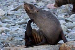 Futerkowe foki siedzi na chrobocie i skałach Zdjęcie Royalty Free