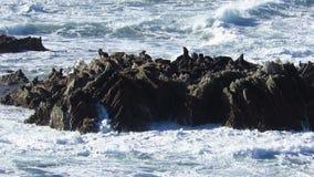 Futerkowe foki siedzi na skałach w oceanie zdjęcie wideo