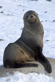 Futerkowe foki siedzi na skale na plaży Antarktycznej Obrazy Stock