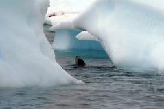 Futerkowej foki dopłynięcie między górami lodowa w Antarctica fotografia royalty free