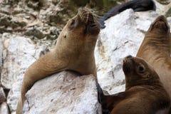 Futerkowej foki kolonia Na Ballestas wyspach, Peru Zdjęcie Stock