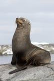 Futerkowej foki obsiadanie na skale z ona oczy zamykający Fotografia Royalty Free