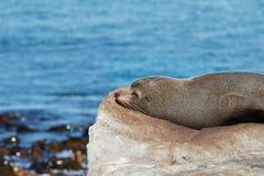 Futerkowej foki odpoczywać Fotografia Royalty Free