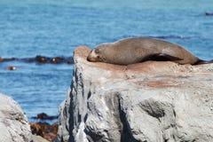 Futerkowej foki odpoczywać Zdjęcie Royalty Free