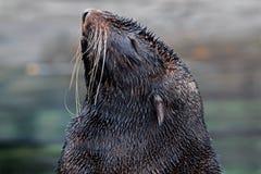Futerkowej foki ` s głowa Zdjęcie Royalty Free