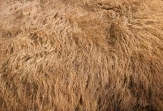 Futerkowej tekstury żubra stary włosy obrazy stock