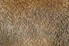 Futerkowej tekstury żubra stary włosy Zdjęcia Stock