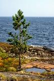 Futerkowy drzewo Zdjęcia Royalty Free