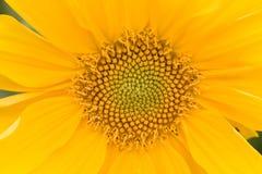Future biodiesel. Macro of sunflower Stock Images