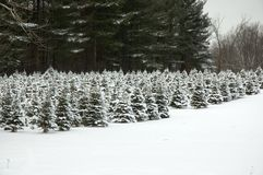 Future Christmas Trees. A plot of small Christmas Trees on a farm, covered in snow Stock Image