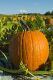 Future Jack-o-lantern. Fresh pumpkin in a pumpkin patch- just waiting to be carved Stock Images