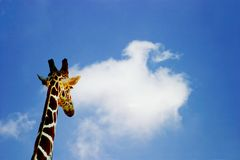 Future Prospects. Concept shot of a giraffe looking out to the future stock images