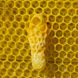 Future Queen Bee develops in a wax cocoon. Life and reproduction of bees. Wax Cocoon Queen bee Stock Photography
