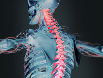 Futuristic human anatomy x-ray. Showing the back with the spine highlighted in red Stock Photo