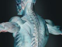 Futuristisk mänsklig anatomiröntgenstråle Royaltyfri Bild