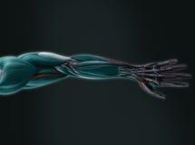 Futuristisk mänsklig hand- och armröntgenstråle Fotografering för Bildbyråer