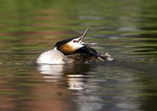 Fuut, Great Crested Grebe, Podiceps cristatus stock image