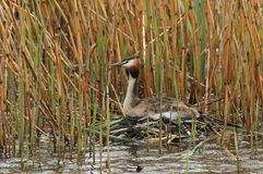 Fuut, Great Crested Grebe, Podiceps cristatus. Fuut broedend op eieren op drijvend nest; Great Crested Grebe incubating eggs on nest royalty free stock photography