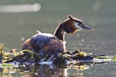 Fuut, Great Crested Grebe, Podiceps cristatus. Fuut op het nest; Great Crested Grebe on nest royalty free stock photos