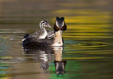 Fuut, Great Crested Grebe, Podiceps cristatus. Volwassen Fuut zwemmend met jongen op de rug; Great Crested Grebe adult swimming with a chicks on its back royalty free stock image