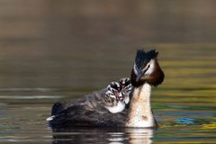 Fuut, Great Crested Grebe, Podiceps cristatus royalty free stock images