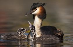 Fuut, Great Crested Grebe, Podiceps cristatus. Volwassen Fuut zwemmend met volgend jong; Great Crested Grebe adult swimming with a chick following royalty free stock image