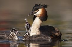 Fuut, Great Crested Grebe, Podiceps cristatus. Volwassen Fuut zwemmend met volgend jong; Great Crested Grebe adult swimming with a chick following royalty free stock images