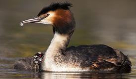 Fuut, Great Crested Grebe, Podiceps cristatus. Volwassen Fuut zwemmend met volgend jong; Great Crested Grebe adult swimming with a chick following stock photos
