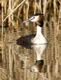 Fuut, Great Crested Grebe, Podiceps cristatus. Fuut in zomerkleed; Great Crested Grebe in summer plumage royalty free stock photos