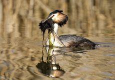 Fuut, Great Crested Grebe, Podiceps cristatus. Fuut zwemmend; Great Crested Grebe swimming stock photos