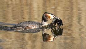 Fuut, Great Crested Grebe, Podiceps cristatus. Fuut zwemmend; Great Crested Grebe swimming royalty free stock images