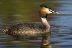 Fuut, Great Crested Grebe, Podiceps cristatus. Zwemmende Fuut in zomerkleed; Adult Great Crested Grebe swimming stock photos