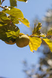 Fuyu persimmon grows on a tree. On a small organic farm in summer Royalty Free Stock Photos