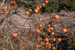 Fuyu Persimmon Royalty Free Stock Images