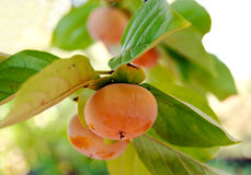 Fuyu persimmons on the branch Royalty Free Stock Photography
