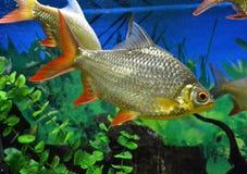 Fuzileiro naval para peixes do aquário Fotografia de Stock Royalty Free